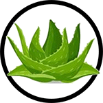 Organic Aloe Vera as Ingredient in Organic Body Lotion